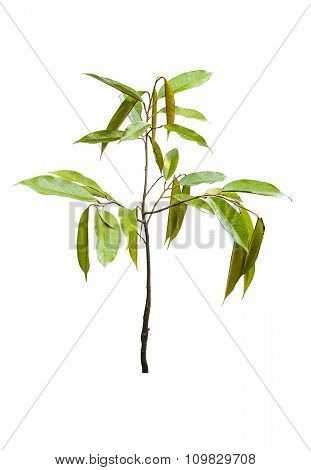 Young Durian Tree Isolated