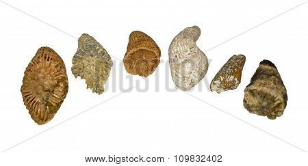 Several fossilized tetracorals of Carboniferous period