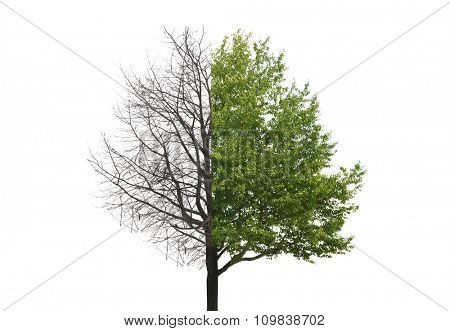 One tree with one part without leaves and other part with green leaves
