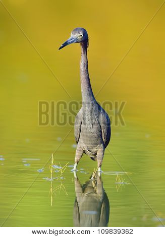 Adult Little Blue Heron, ( Egretta Caerulea ) Corkscrew Swamp,