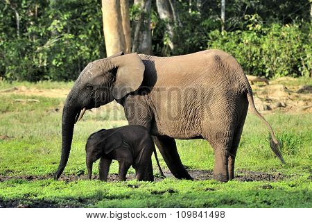 The elephant calf with elephant cow.