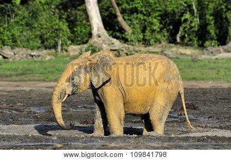 The African Forest Elephant Loxodonta africana cyclotis (forest dwelling elephant).