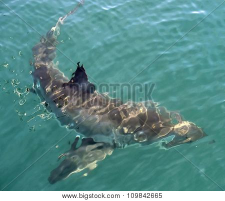 Great White shark (Carcharodon carcharias) in the water