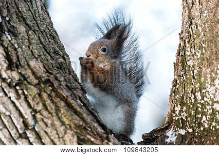 Squirrel Eating Sitting On Trunk Of Tree