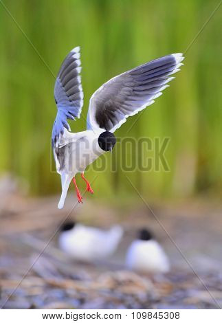 The Little Gull (larus Minutus) In Flight On The Green Grass Background. Front