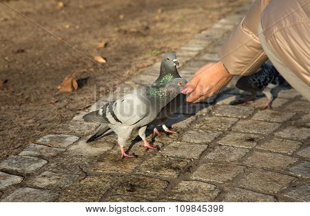 Pigeon Eats Sunflower Seeds From A Female Hand