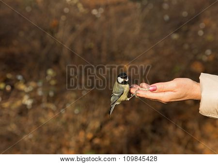 Great Tit Bird Sitting On Human Hand And Feeding.horizontal.
