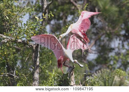 Pair Of Roseate Spoonbills