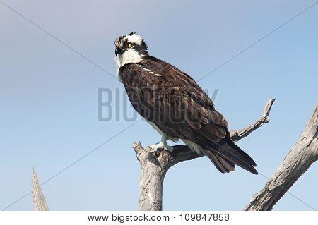Osprey In A Tree