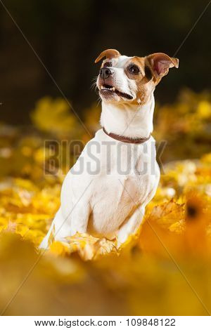 Amazing Jack Russell Terrier In Autumn