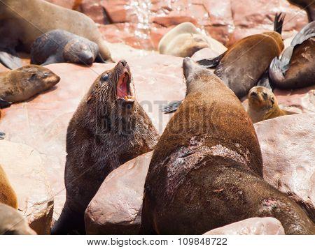 Brown fur seals fight