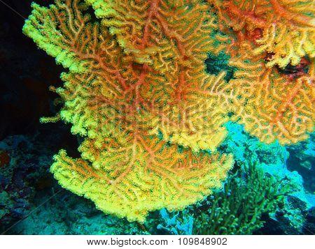 Gorgonian coral, Island Bali, Pemuteran