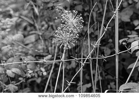 Bulbs Blooming Onion And Barbed Wire