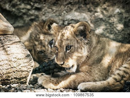 Two Cute Lion Cubs (panthera Leo Leo)