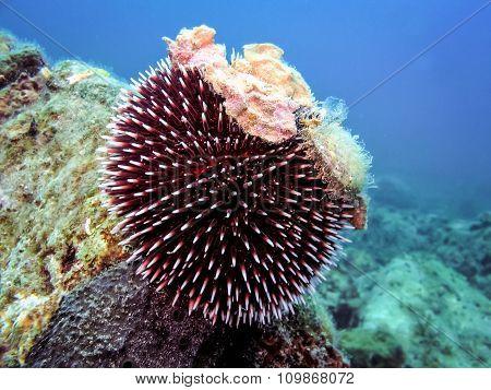 Underwater Photo Of Purple Sea Urchin.