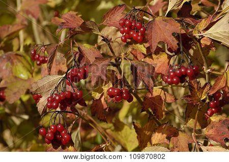 Guelder-rose Berries