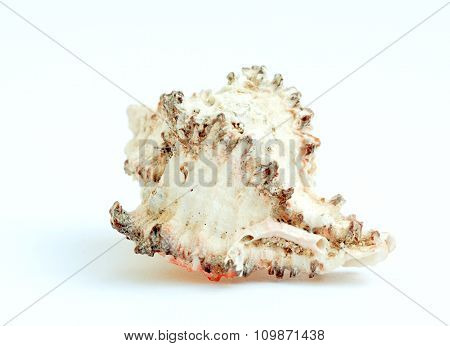 Seashell Close-up On A White Background