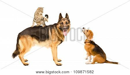 German shepherd, cat and Beagle playing together