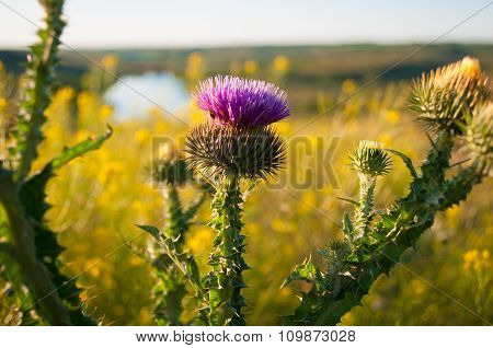 Cirsium Vulgare Close-up On A Background