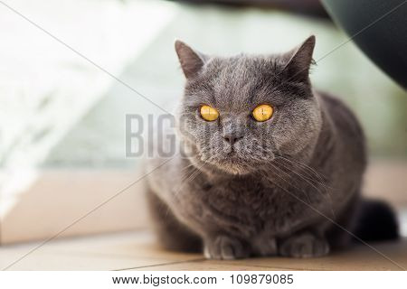 Hunting Grey British Cat