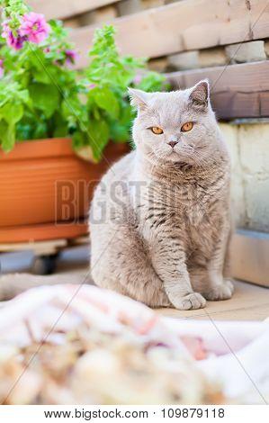 British Cat Sitting On A Balcony