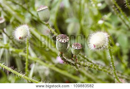 Closed Poppy Buds, Banos De Montemayor, Spain