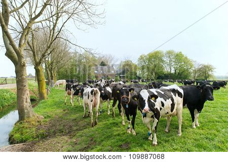 Typical Dutch cows in landscape with farm house