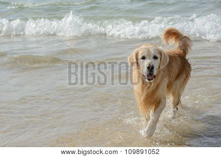 Golden Retriever Dog Play On The Beach