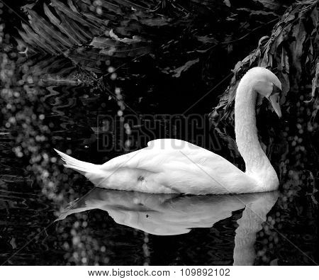 Swan Swimming in Pond.