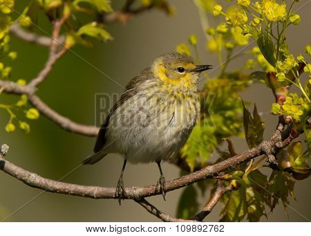 Female Cape May Warbler