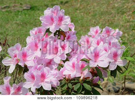 Azalea Flowers At Spring