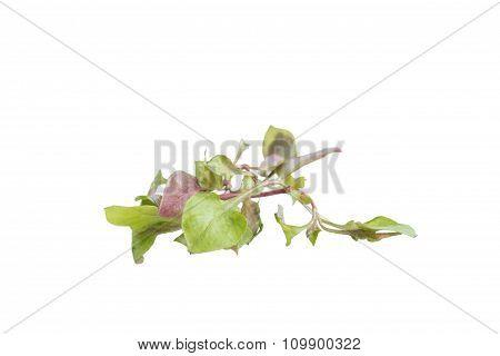 Red Green Watercress Fresh Leaf