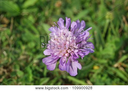 Field scabious flower