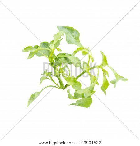 Fresh Green Leaf Watercress Salad Ingredient