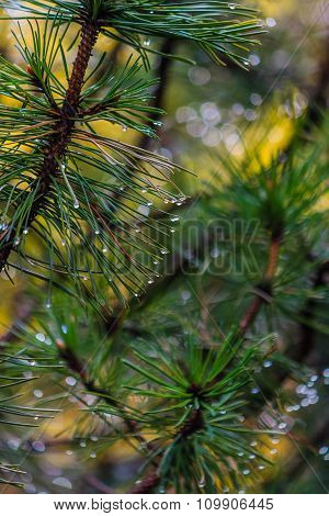 Pine branch with rain drops