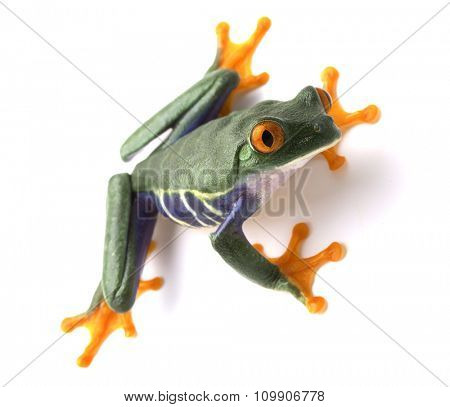 red eyed tree frog isolated on white, a tropical rain forest animal of the jungle in Costa Rica