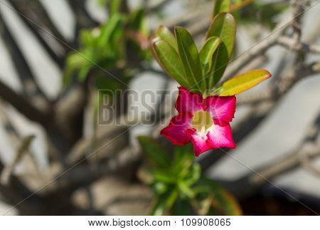 Pink Desert Rose Or Impala Lily Or Mock Azalea Flower