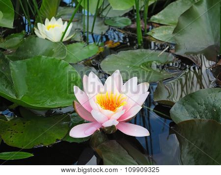Beautiful Pink Water Lily Lotus Flower In Pond Green Leaves