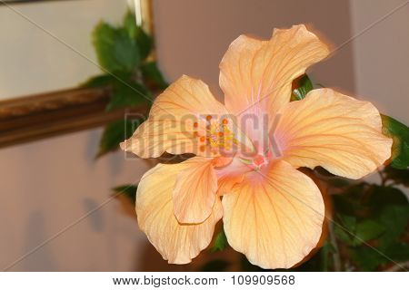 Hibiscus (Orange)