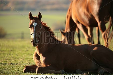 Young horse rests in a pasture
