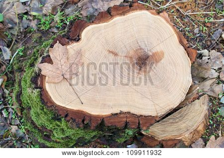 Top View Of A Fresh Tree Stump From Felled Maple In A Forest