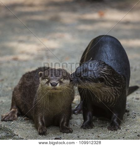 Two Kissing Eurasian Otters