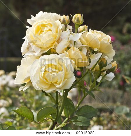 Photo Of Branch Of Tender Yellow Roses, Slightly Toned