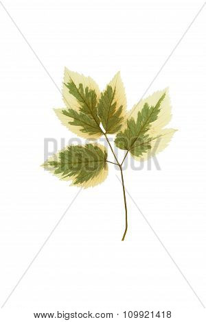 Pressed And Dried Leaf Ash-leaf Maple (acer Negundo)