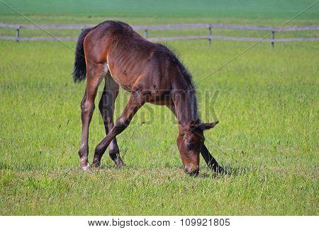 Little  bay foal  grazing on green meadow