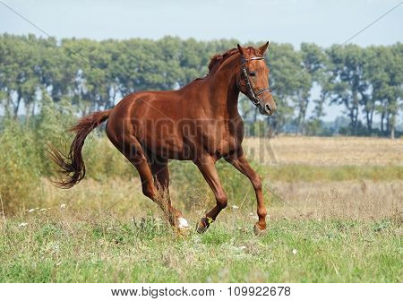 Beautiful chestnut horse running at the field
