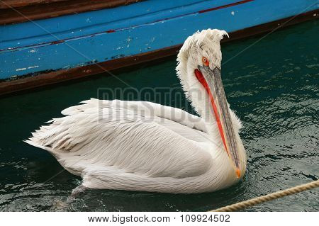 Australian Pelican on water.