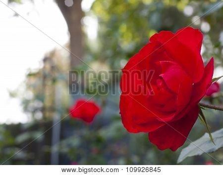 Photo Of Bright Red Rose On Blurred Natural Background