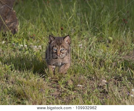 Bobcat Kitten Running in Meadow