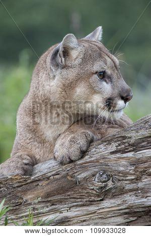 Alert Cougar
